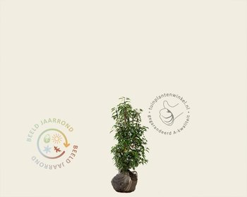 Prunus lusitanica 'Angustifolia' - kluit