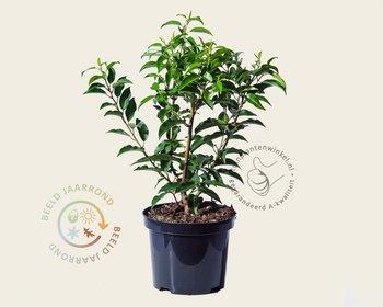 Prunus lusitanica 'Angustifolia' - in pot