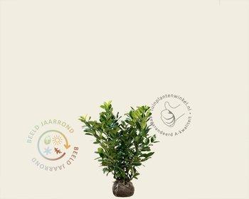 Prunus laurocerasus 'Rotundifolia' - kluit