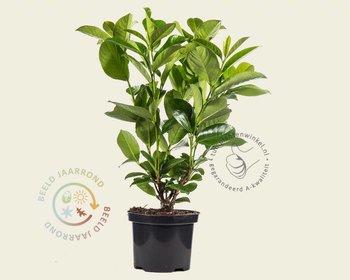 Prunus laurocerasus 'Rotundifolia' - in pot