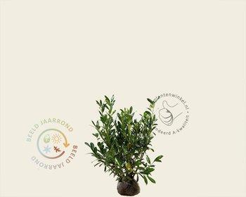 Prunus laurocerasus 'Caucasica' - kluit
