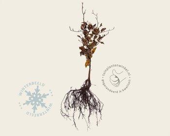 Fagus sylvatica (Groene Beuk) - blote wortel