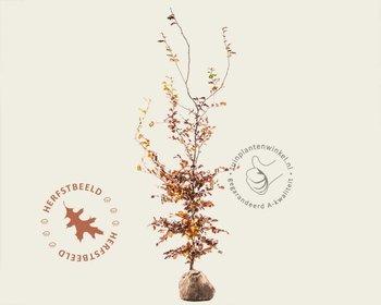 Fagus sylvatica (Groene Beuk) - kluit