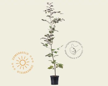Fagus sylvatica 'Atropunicea' (Rode Beuk) - in pot