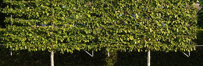 Tuinplantenwinkel.nl keuzehulp voor onze Lei-Bomen