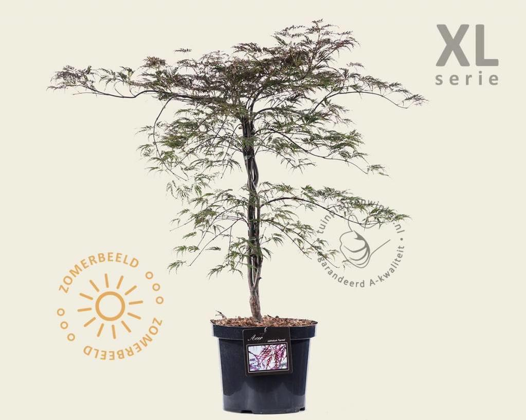 Acer palmatum 'Garnet' - XL