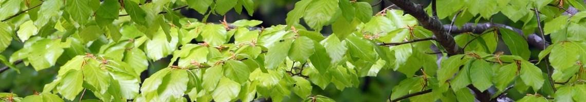 Groene beukenbomen