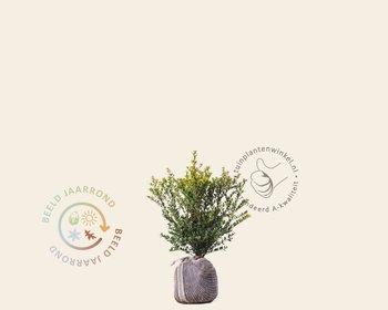Ilex crenata 'Green Hedge' - kluit