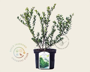 Ilex crenata 'Green Hedge' - in pot