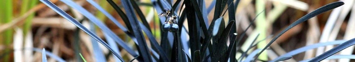 Ophiopogon
