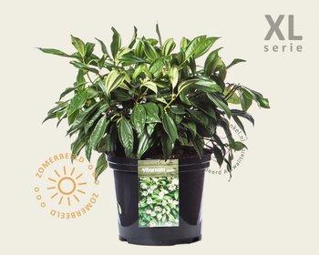 Viburnum davidii - XL
