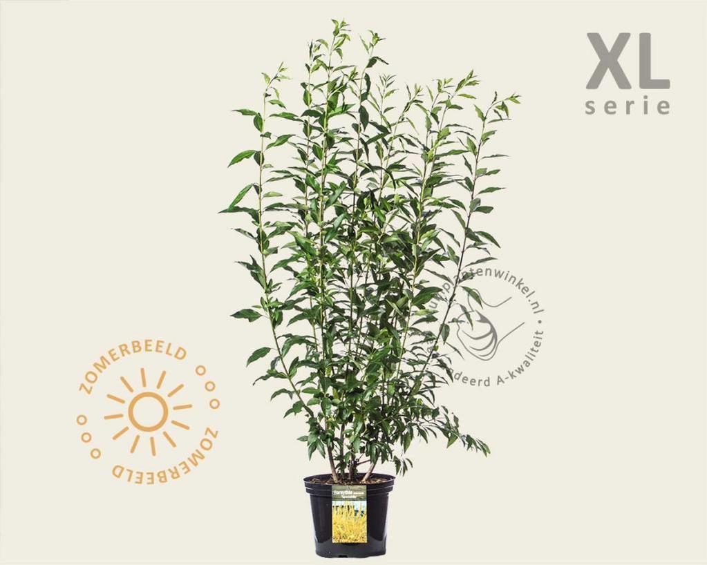 Forsythia x intermedia 'Spectabilis' - XL