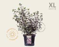 Weigela florida 'Foliis Purpureis' - XL