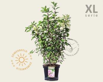 Hydrangea paniculata 'Vanille Fraise' - XL
