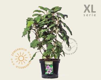 Hydrangea aspera 'Macrophylla' - XL