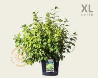 Physocarpus opulifolius 'Dart's Gold' - XL