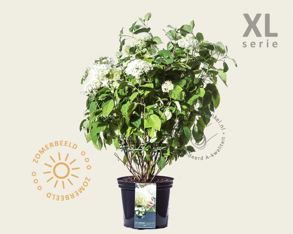 Hydrangea arborescens ´Incrediball´ - XL