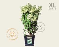 Hydrangea paniculata 'Grandiflora' - XL