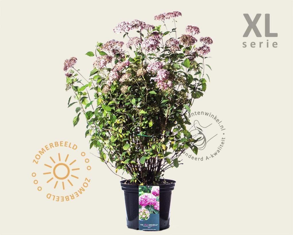Hydrangea arborescens 'Invincibelle' - XL