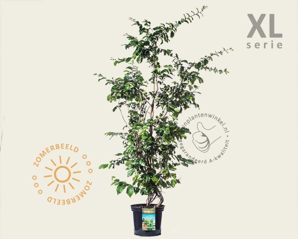 Parrotia persica - XL