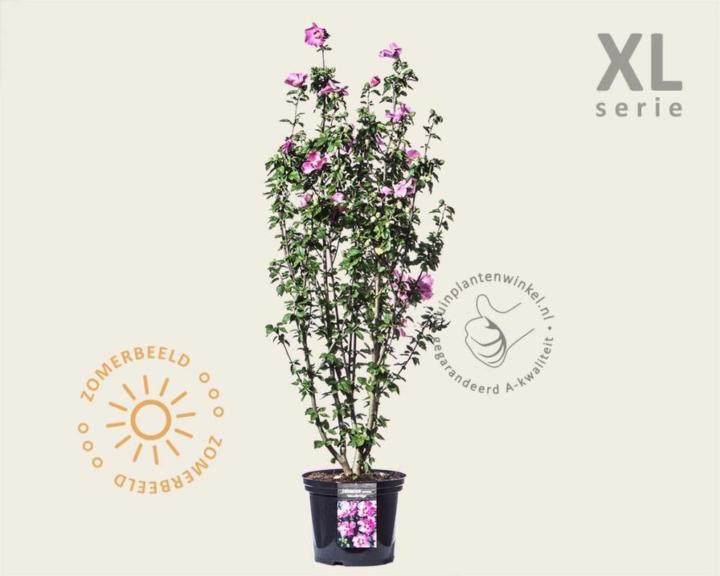 Hibiscus syriacus 'Woodbridge' - XL