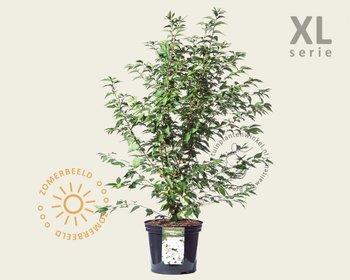 Prunus nipponica 'Brillant' - XL