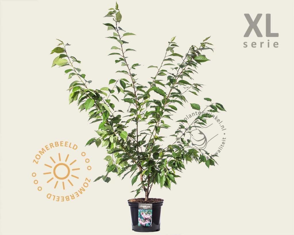 Prunus serrulata 'Kanzan' 100/125 - XL