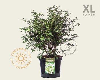 Prunus incisa 'Kojou-no-mai' 50/60 - XL