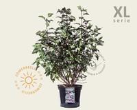 Physocarpus opulifolius 'Diabolo' - XL