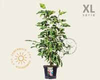 Magnolia 'Heaven Scent' - XL