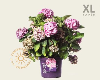 Hydrangea macrophylla 'Forever & Ever' (Roze) - XL