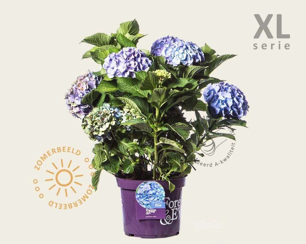 Hydrangea macrophylla 'Forever & Ever' (Blauw) - XL