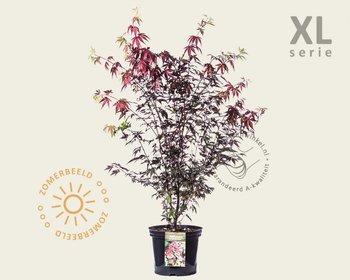 Acer palmatum 'Atropurpureum'  - XL