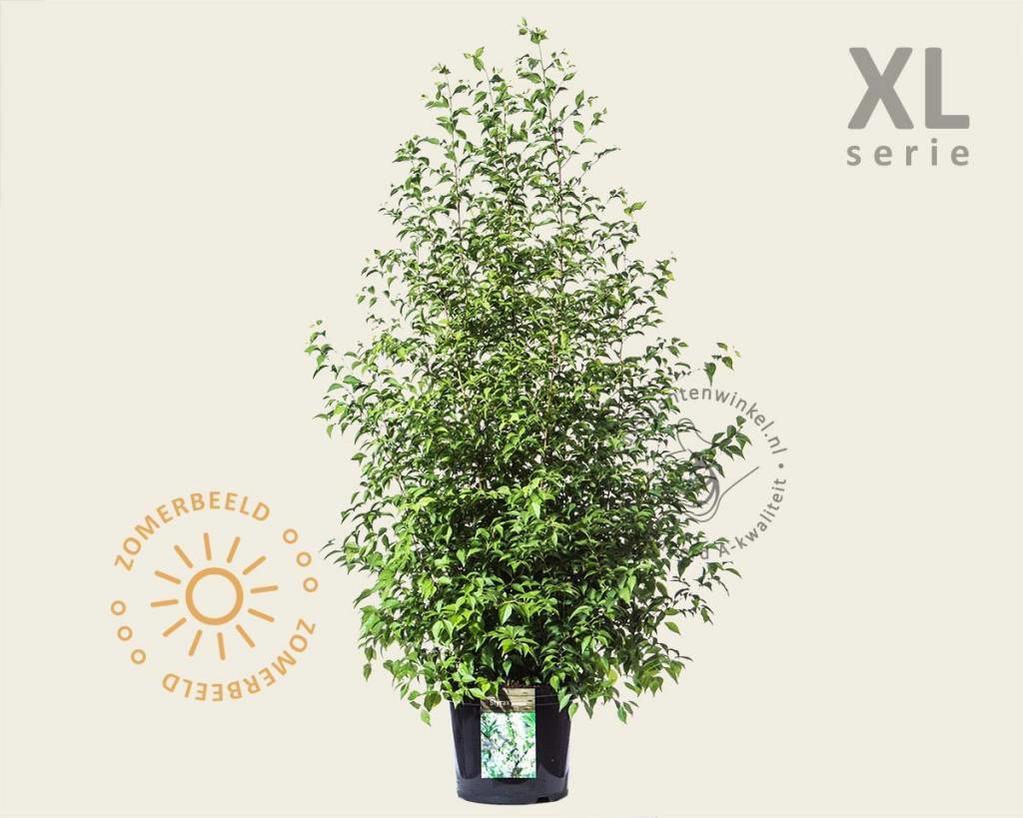 Styrax japonica - XL