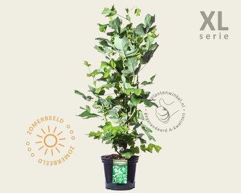 Liriodendron tulipifera - XL