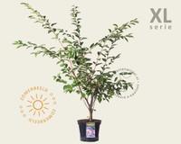 Prunus 'Accolade' - XL