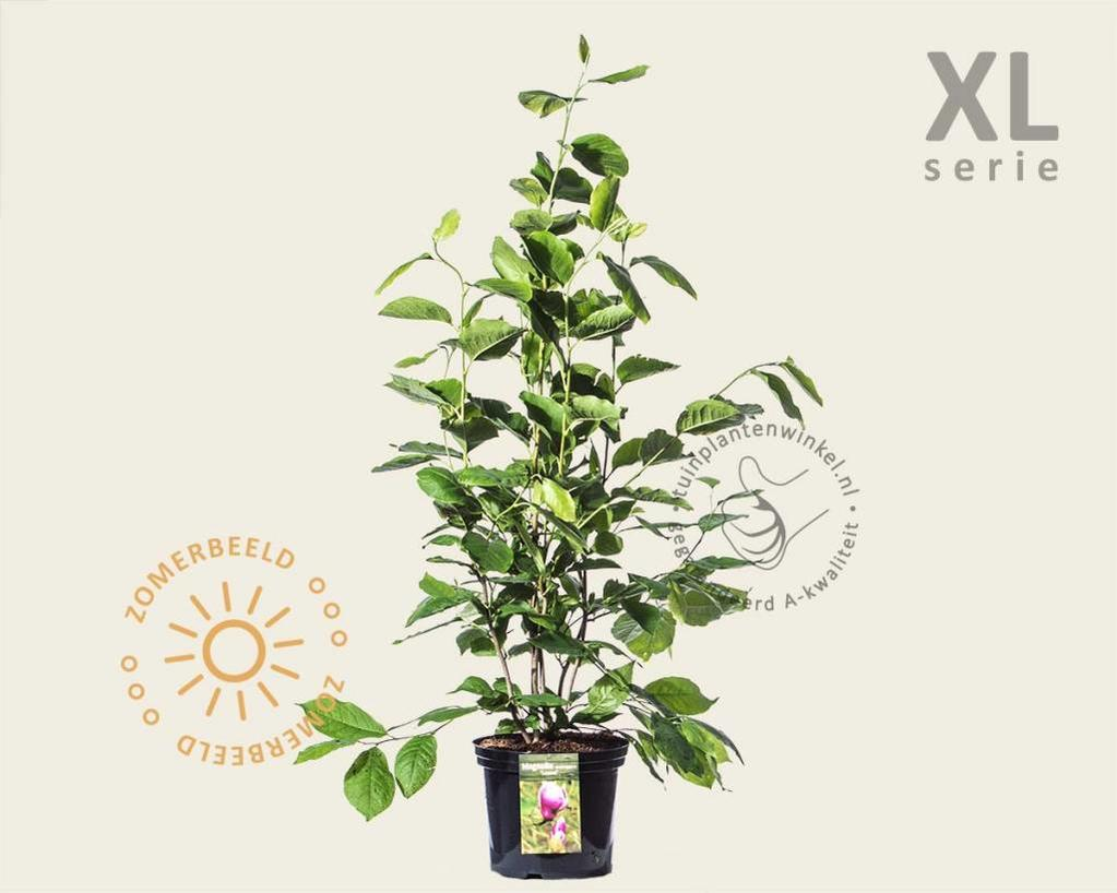 Magnolia soulangeana 'Lennei' - XL