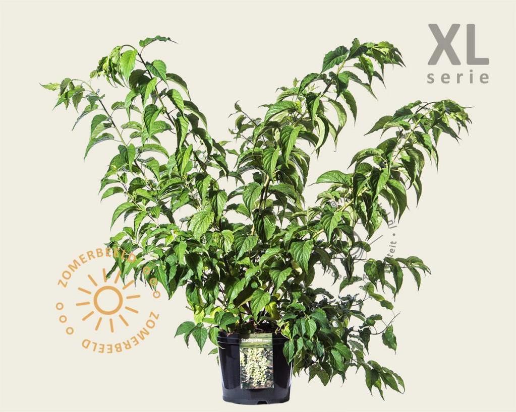 Stachyurus praecox - XL