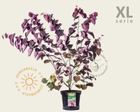 Cercis canadensis 'Forest Pansy' - XL