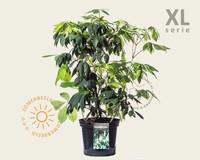 Aesculus parviflora - XL