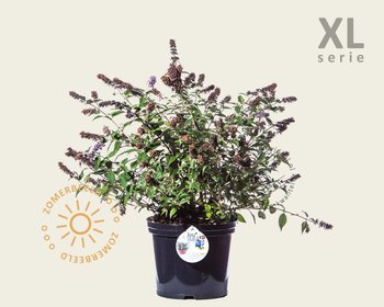 Buddleja davidii 'Blue Chip' - XL