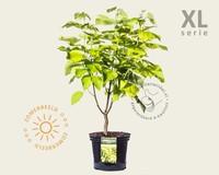 Catalpa bignonioides 'Aurea' - XL
