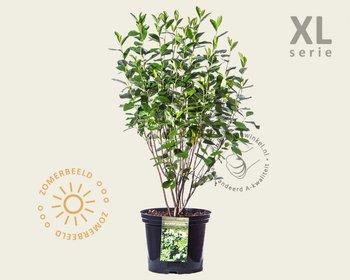 Aronia melanocarpa - XL