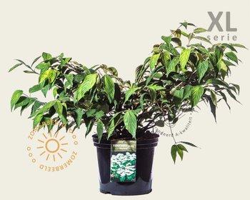 Viburnum plicatum 'Mariesii' - XL
