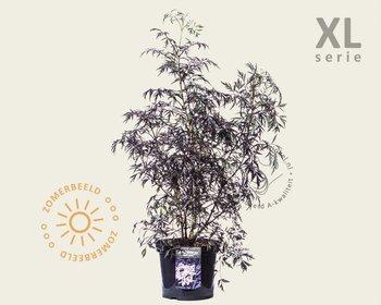 Sambucus nigra 'Black Lace' - XL