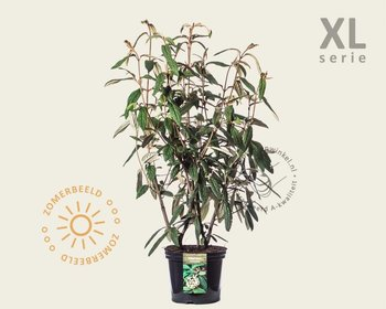 Viburnum rhytidophyllum - XL