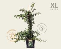 Hydrangea anomala petiolaris - XL