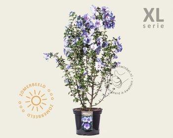 Hibiscus syriacus 'Oiseau Blue' - XL