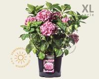 Hydrangea macrophylla 'Roze' - XL