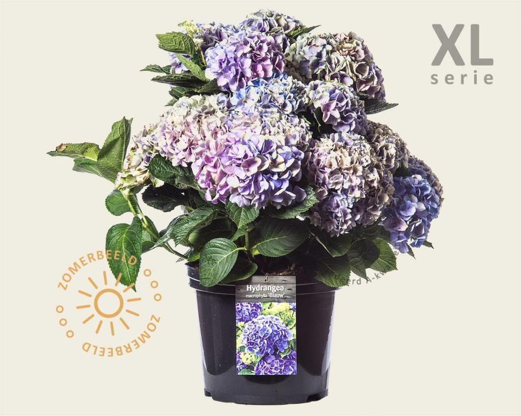 Hydrangea macrophylla 'Blauw' - XL